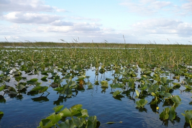 More than a century of agricultural and residential development have greatly reduced freshwater flow in the Everglades. Credit: flickr/Balthazira.