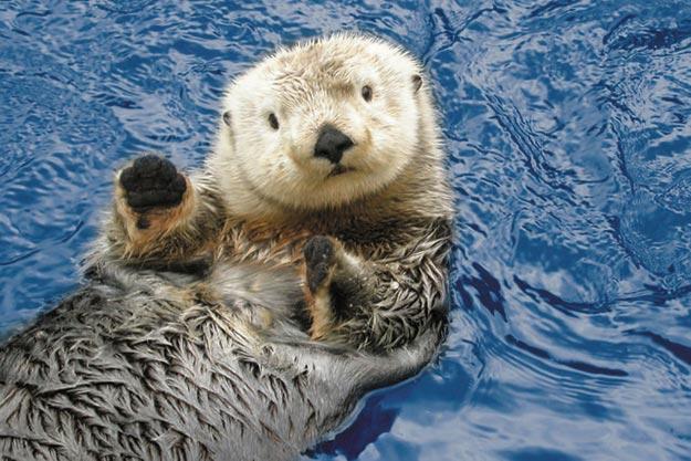 The-Sea-Otter1