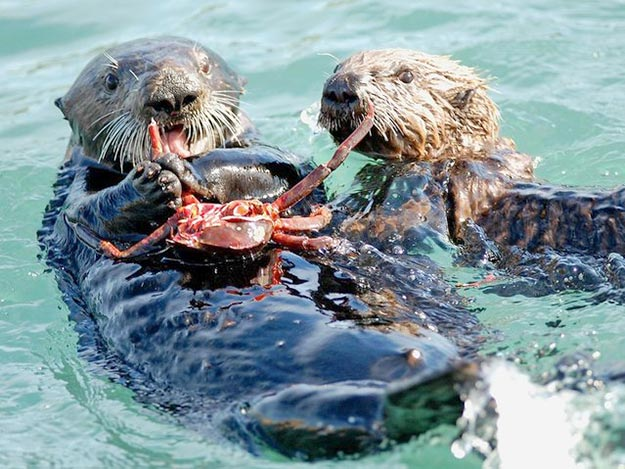 The-Sea-Otter10