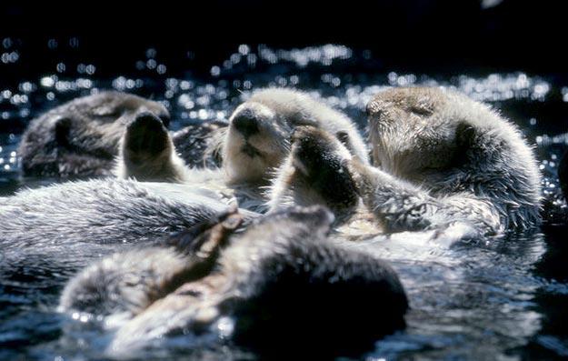 The-Sea-Otter12