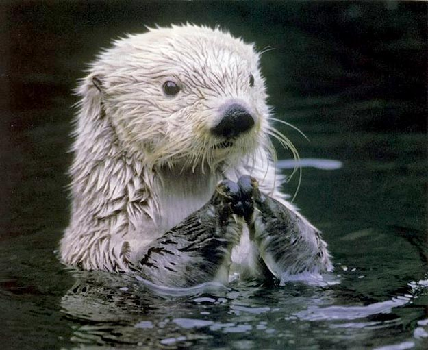 The-Sea-Otter16