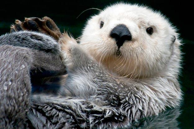 The-Sea-Otter2