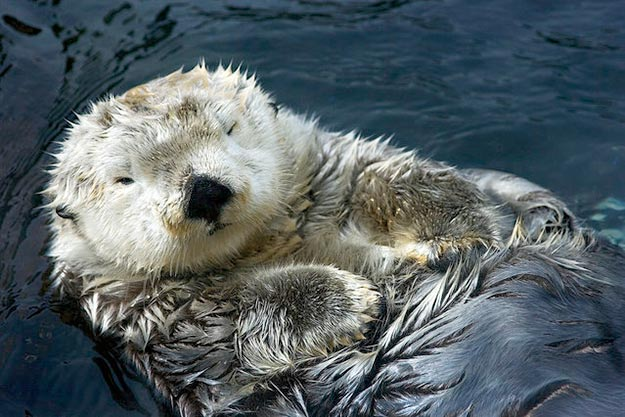 The-Sea-Otter3