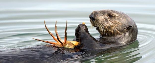 The-Sea-Otter9