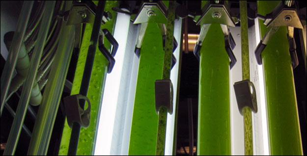 Algae-590