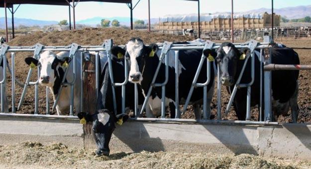 Feedlot-cows