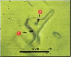 На снимке, сделанном под большим увеличением, показано включение воды (1) в кристаллике соли, а в воде виден пузырек газа (2).