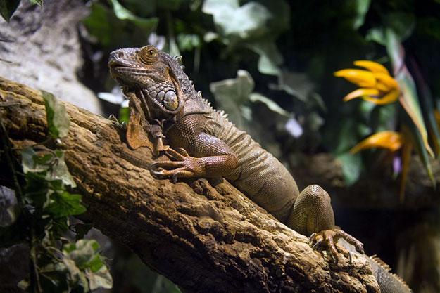 iguana-universo-tropical-aquarium-barcelona