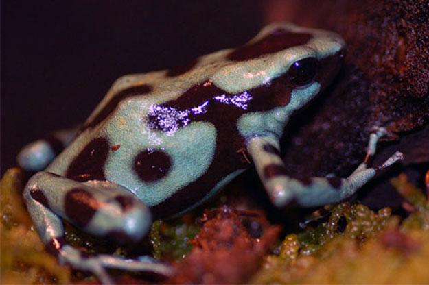 rana-venenosa-de-dardo-aquarium-barcelona