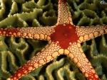 morskaya-zvezda12.jpg